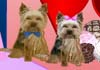 Yorkies Sweet Valentine
