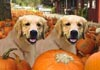 Thanksgiving Golden Retrievers