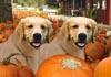 Thanksgiving Golden Retrievers